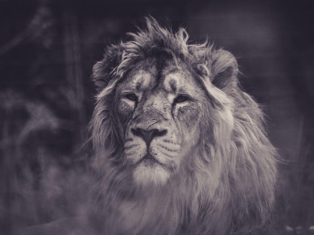 Lion, calm, predator, muzzle, 1024x768 wallpaper