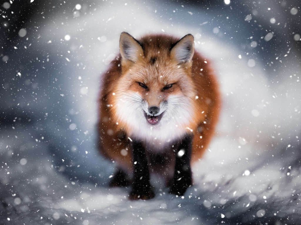 Desktop Wallpaper Angry Fox Wild Predator Winter