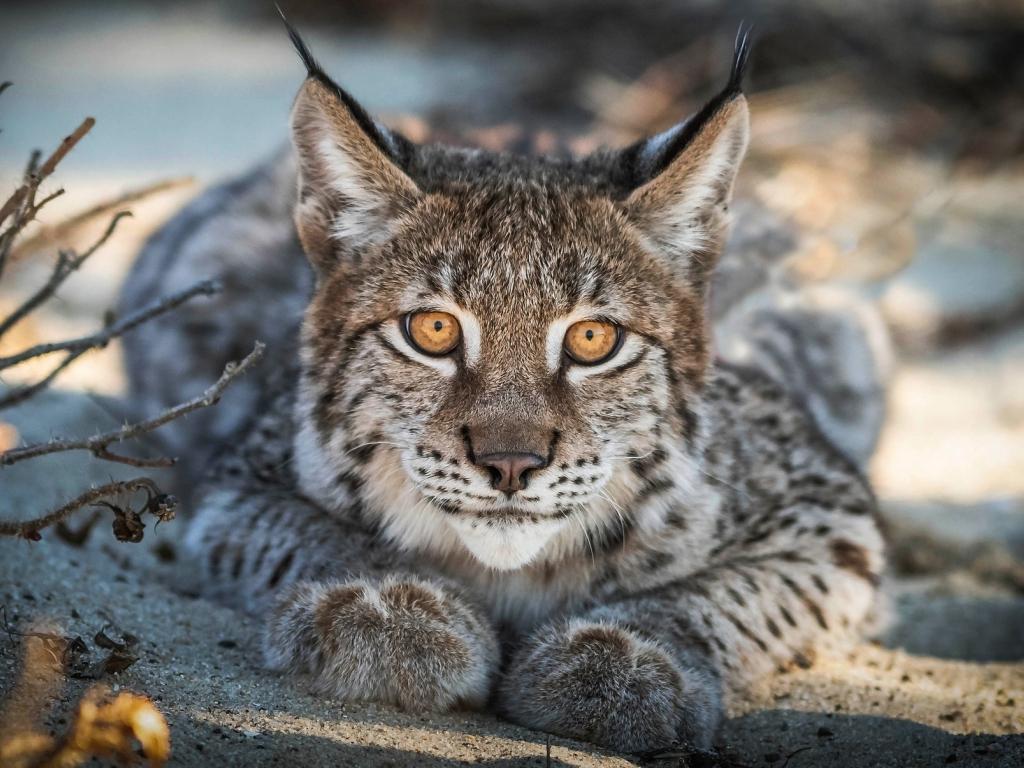 Close up, Lynx, cat, predator, muzzle, 1024x768 wallpaper