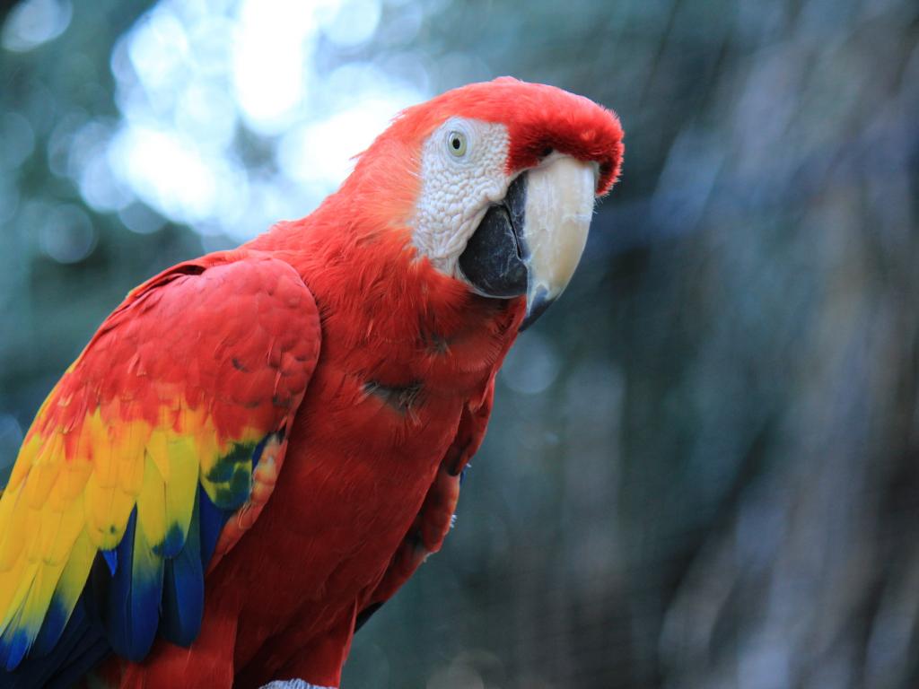 Desktop wallpaper parrot, red macaw, bird, hd image ...