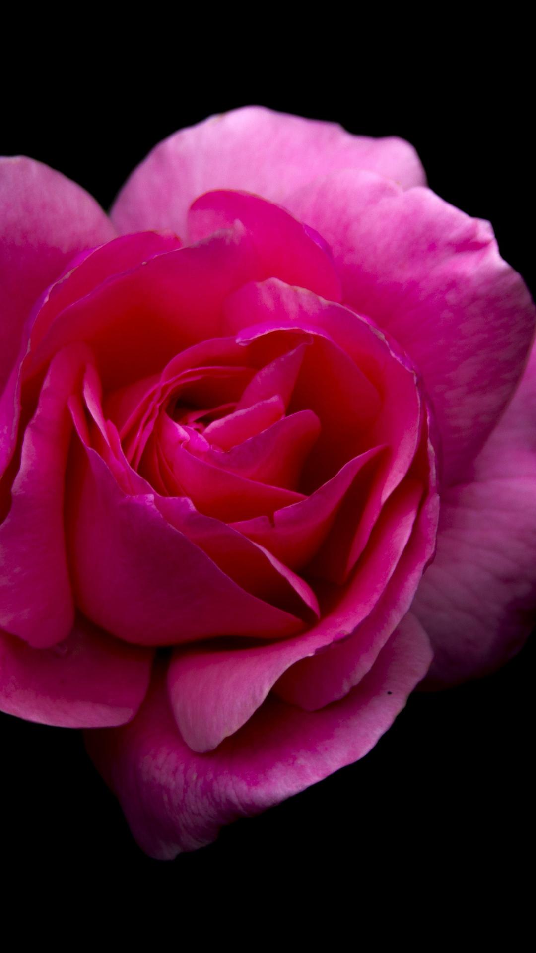 Download 1080x1920 Wallpaper Rose Pink Flower Portrait Samsung Galaxy S4 S5 Note Sony Xperia Z Z1 Z2 Z3 Htc One Lenovo Vibe Google Pixel 2 Oneplus 5 Honor 9 Xiaomi Redmi Note