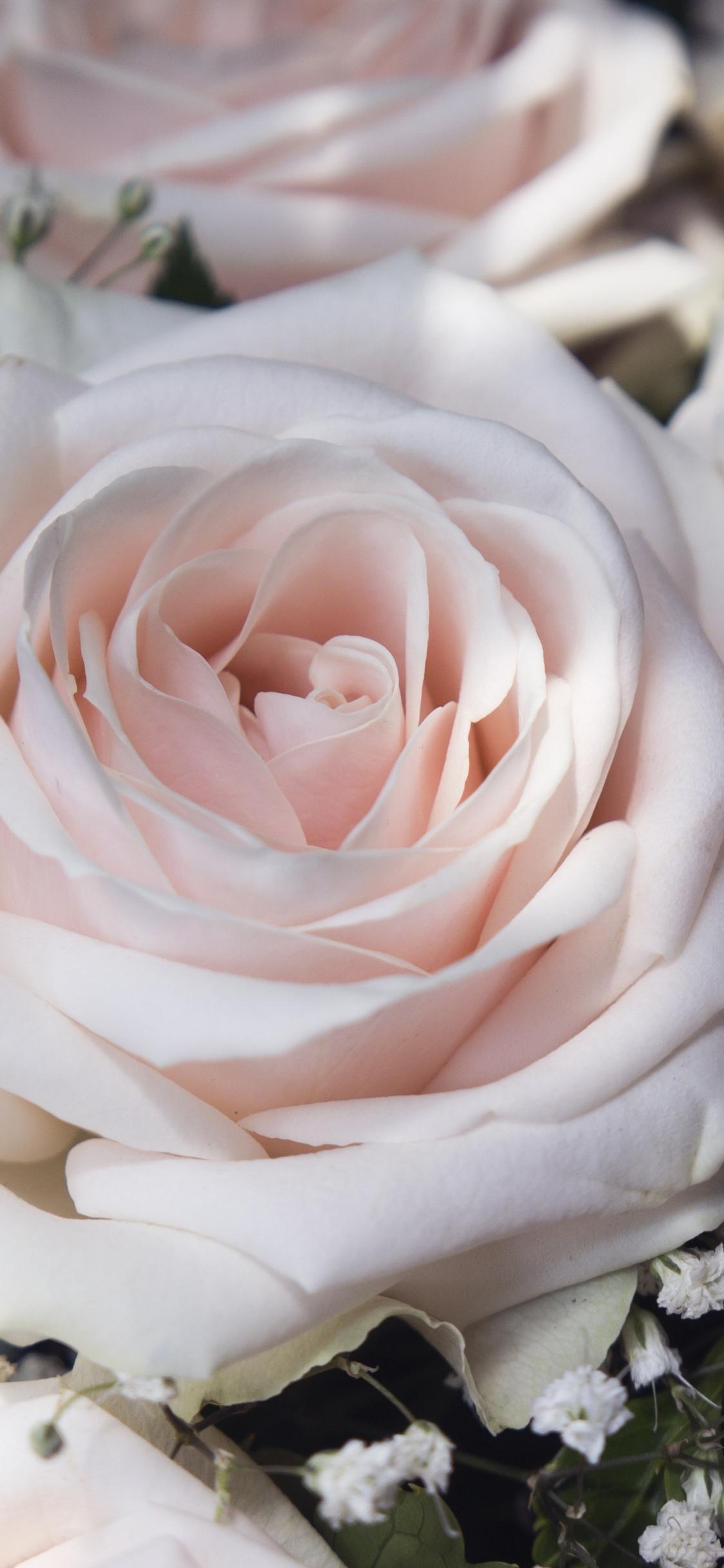 Light Pink Flowers Close Up Roses 1125x2436 Wallpaper