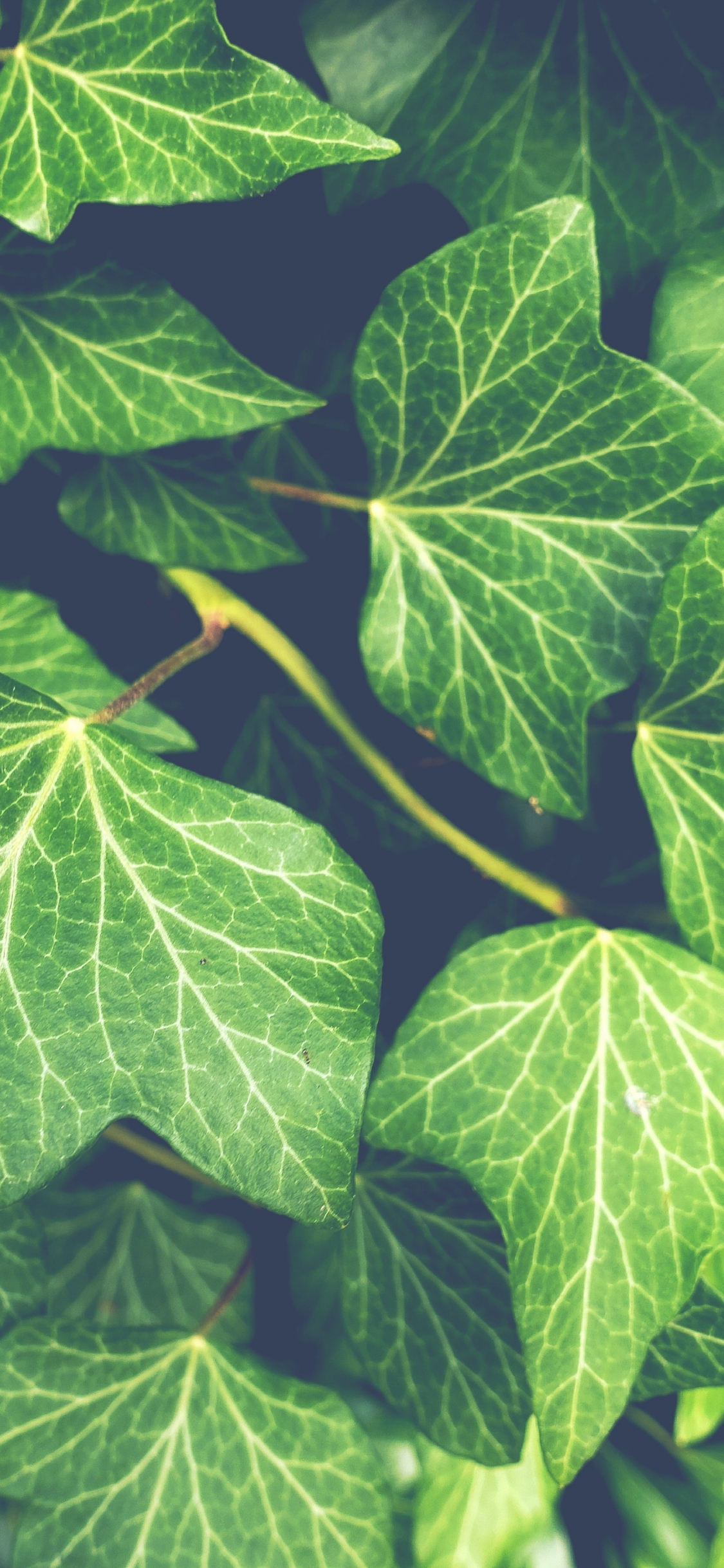 Download 1125x2436 Wallpaper Ivy Plant Green Leaves Close