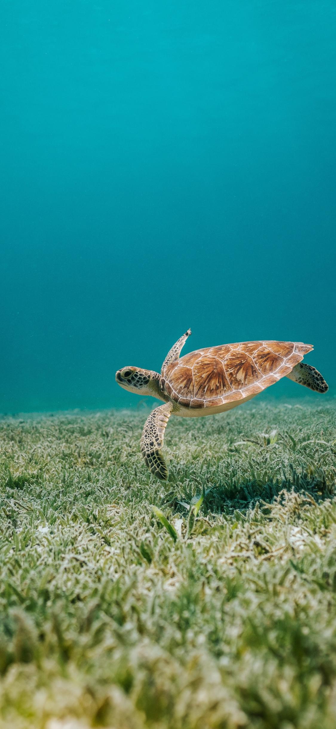 Download 1125x2436 Wallpaper Sealife Turtle Reptile