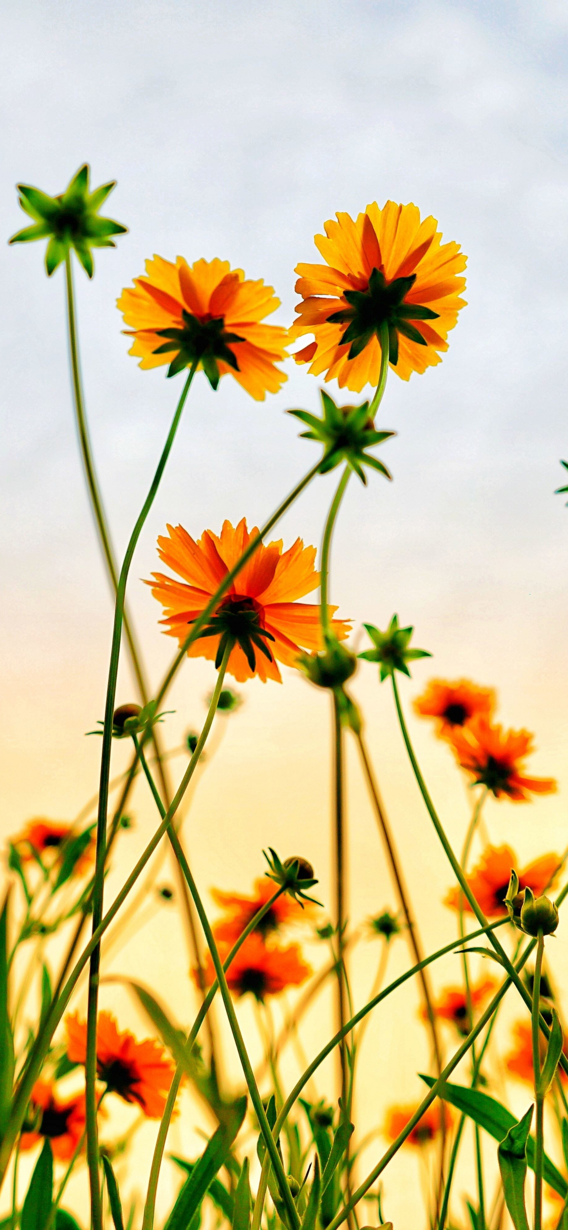 Flower Background Iphone X Flowers Healthy