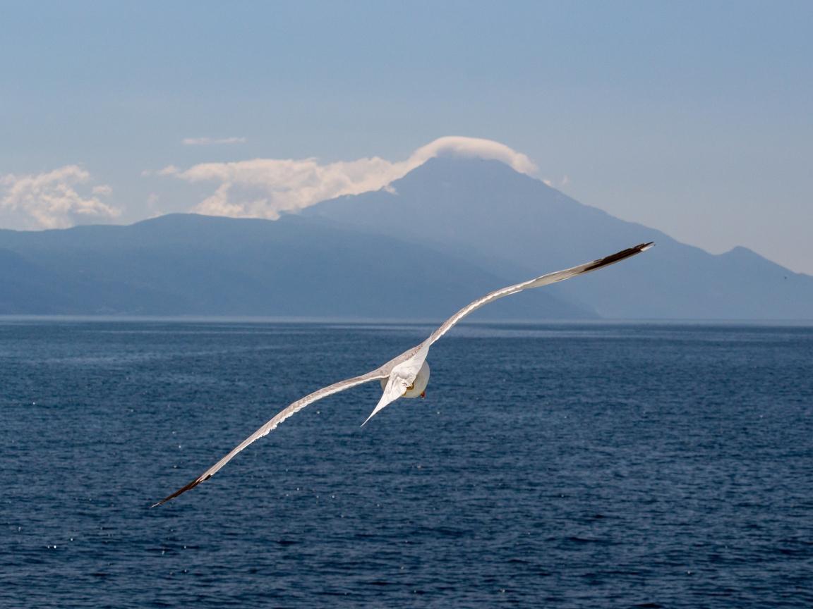 White bird, flight, sea, seagull, 1152x864 wallpaper