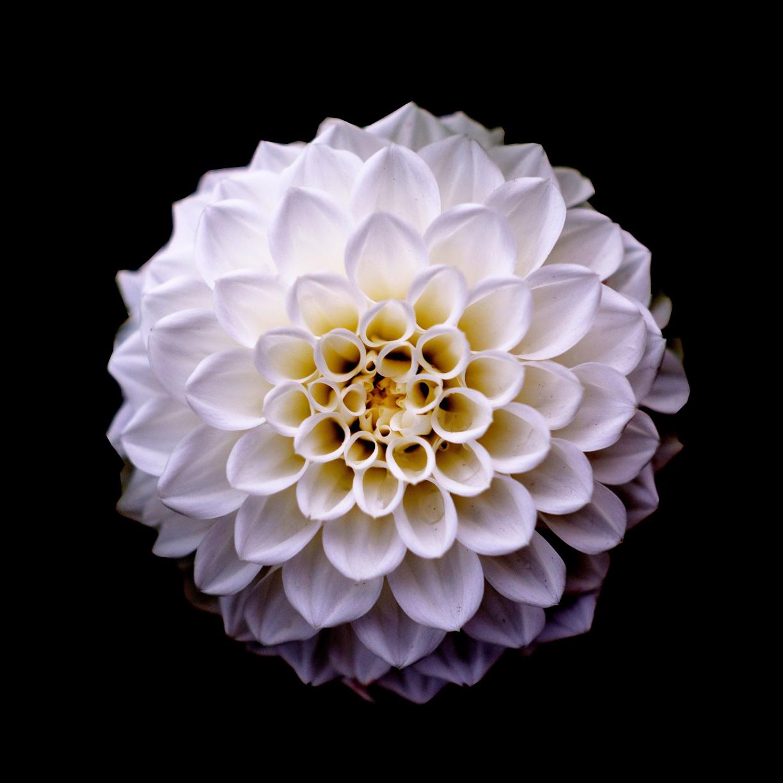 Dahlia, flower, portrait, 1224x1224 wallpaper