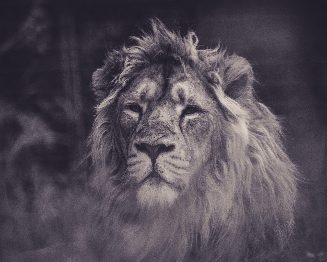 Lion, calm, predator, muzzle, 1280x1024 wallpaper