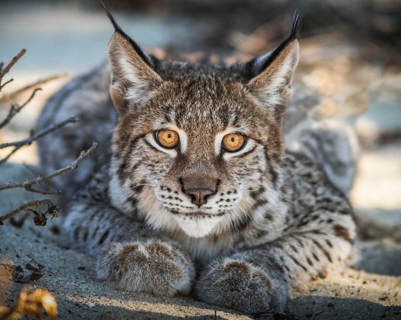 Close up, Lynx, cat, predator, muzzle, 1280x1024 wallpaper