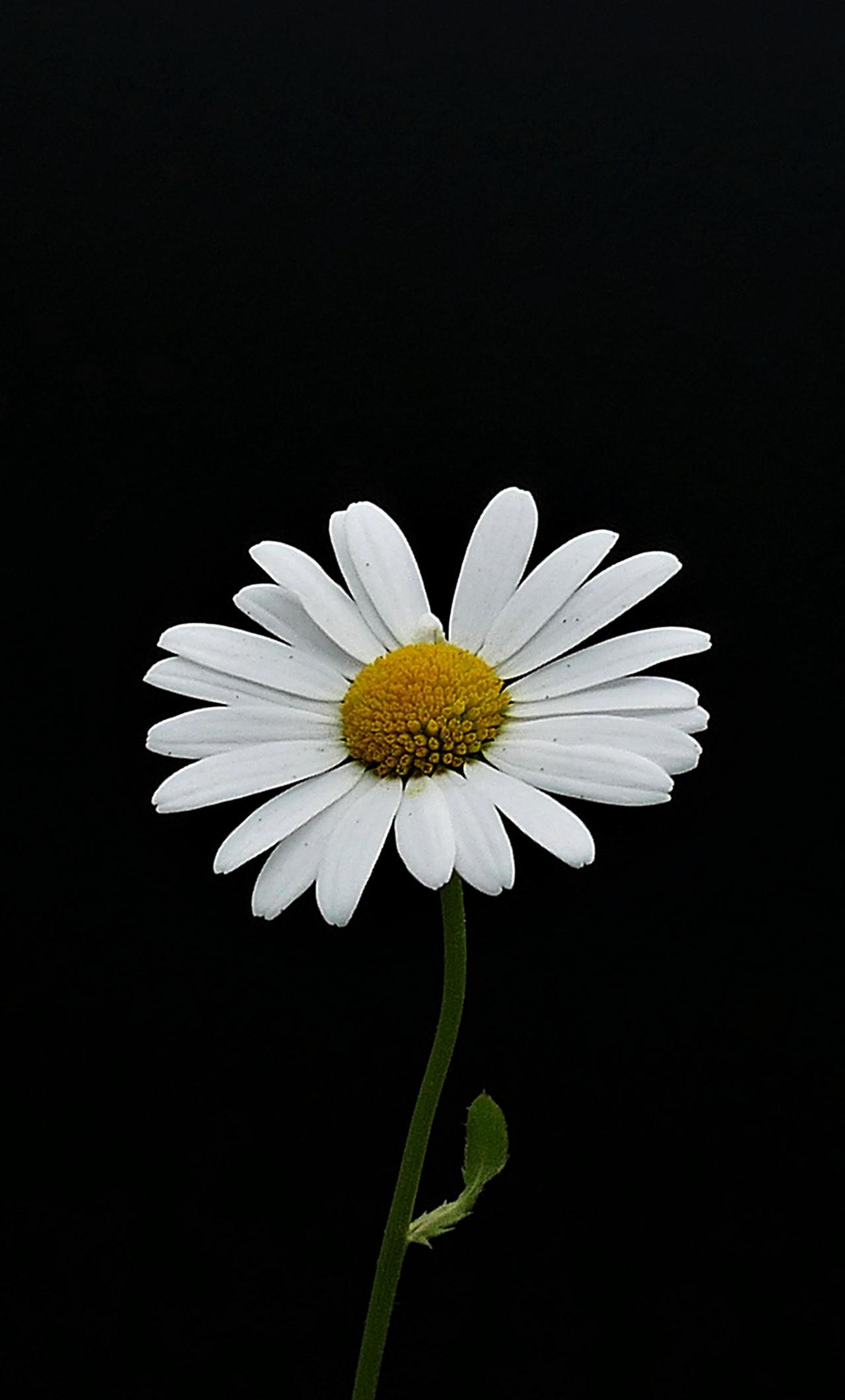 Download 1280x2120 wallpaper portrait, white flower ...