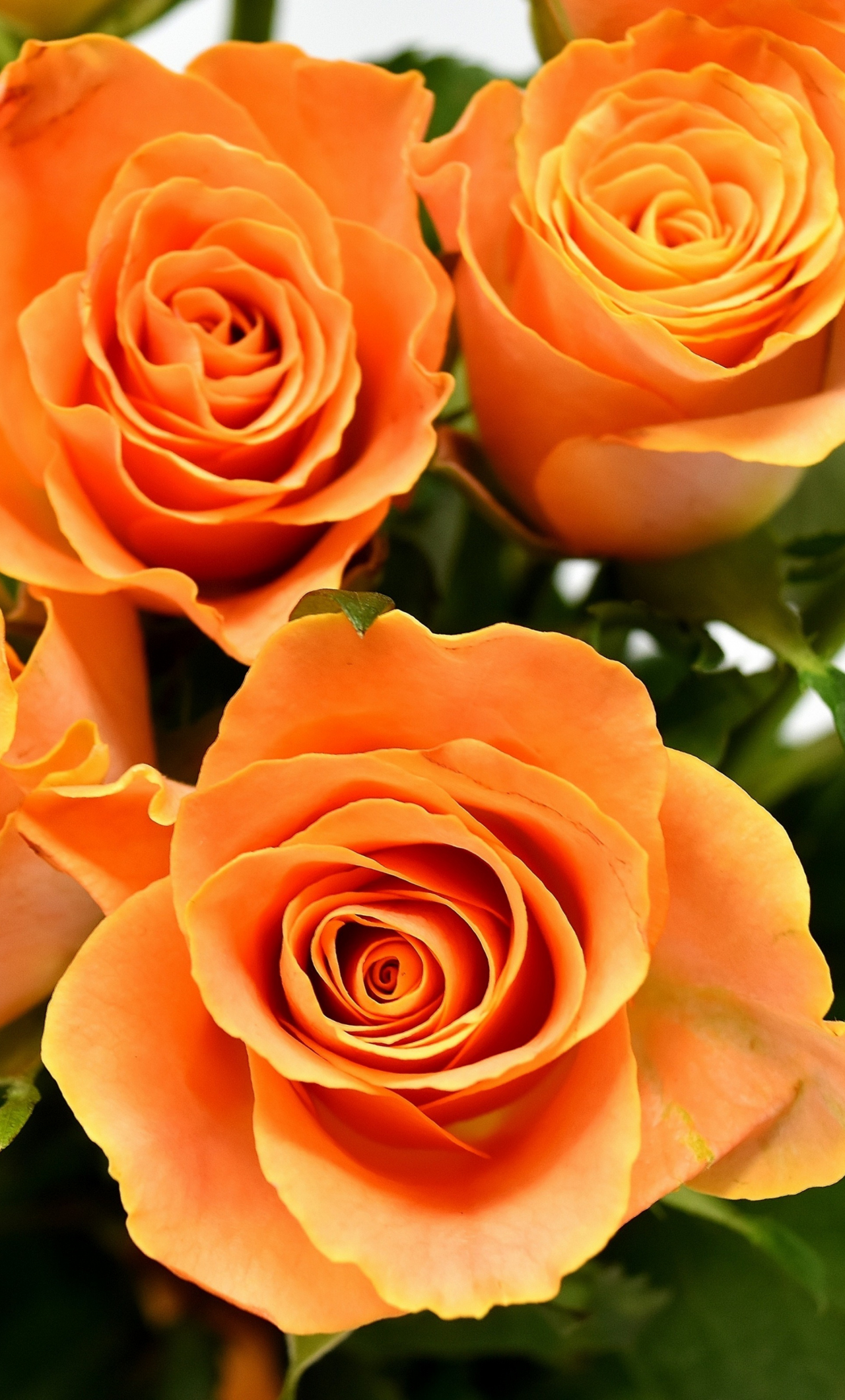 Download 1280x2120 Wallpaper Orange Roses Flowers Bouquet Iphone 6 Plus 1280x2120 Hd Image Background 3028
