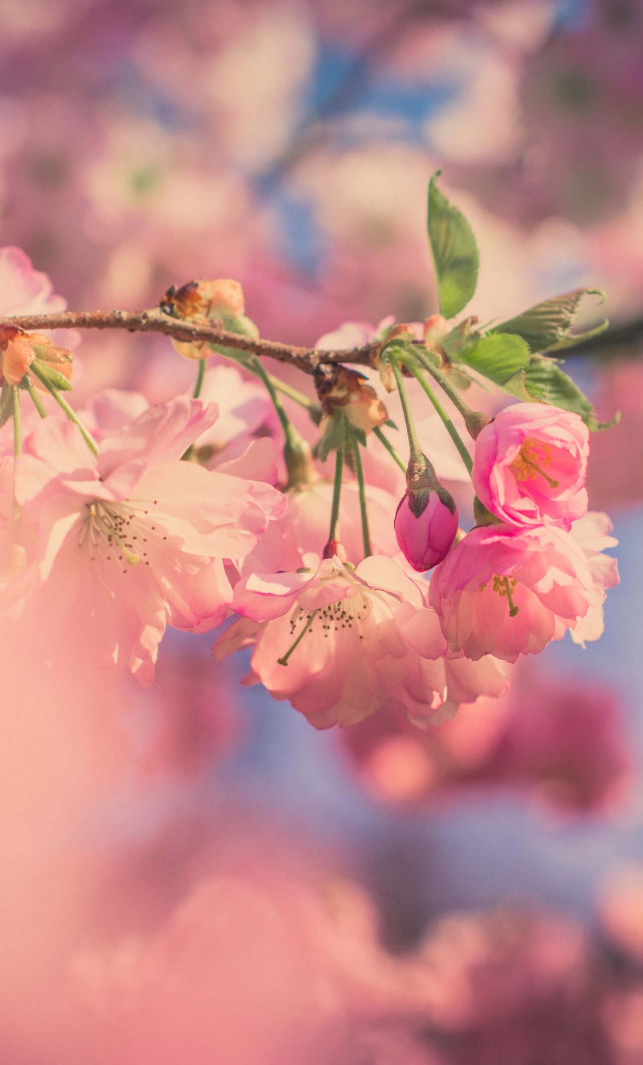 Download 1280x2120 Wallpaper Pink Flowers Cherry Blossom Spring Blur Iphone 6 Plus 1280x2120 Hd Image Background 3149