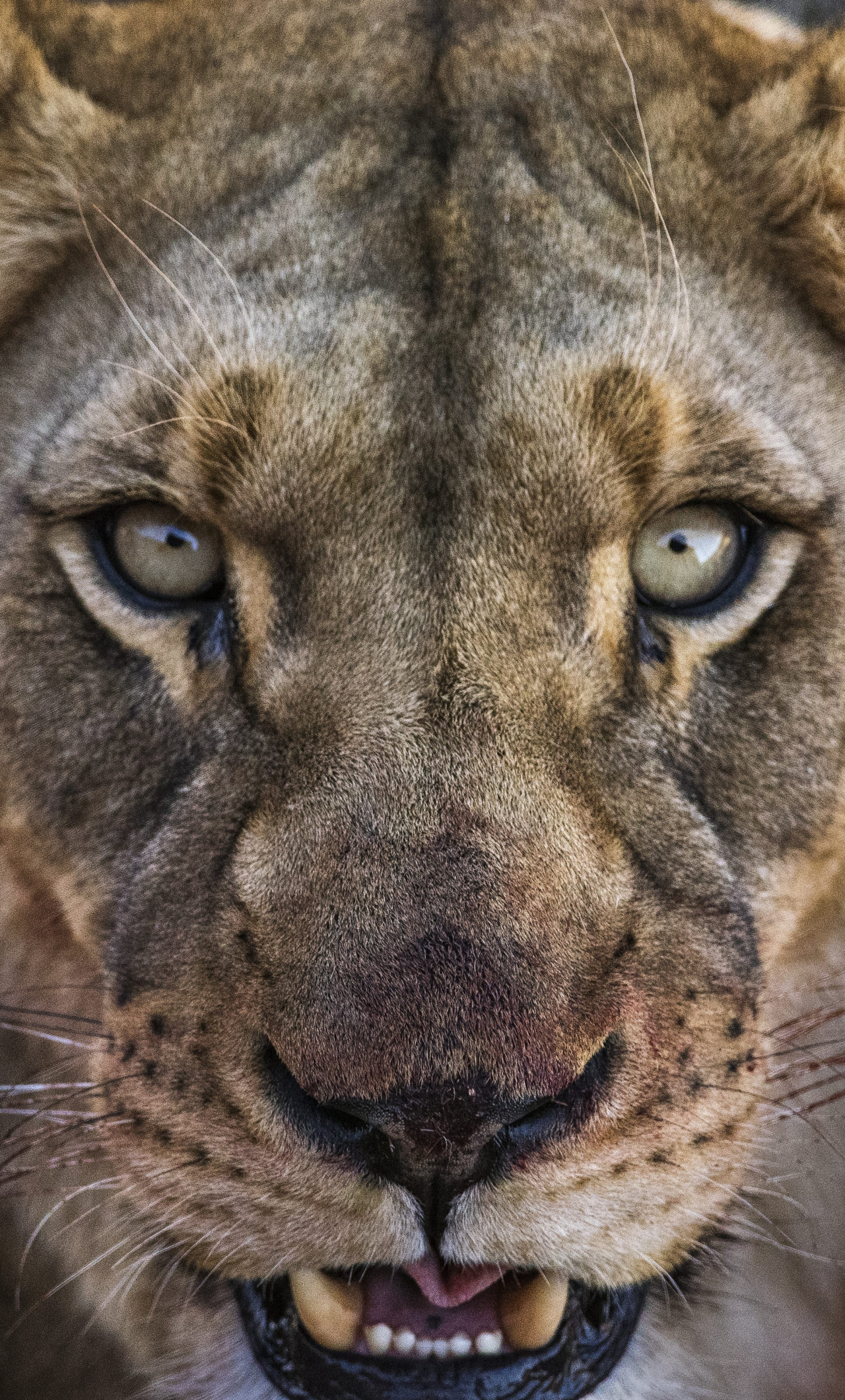 Download 1280x2120 Wallpaper Lioness Angry Beast Lion