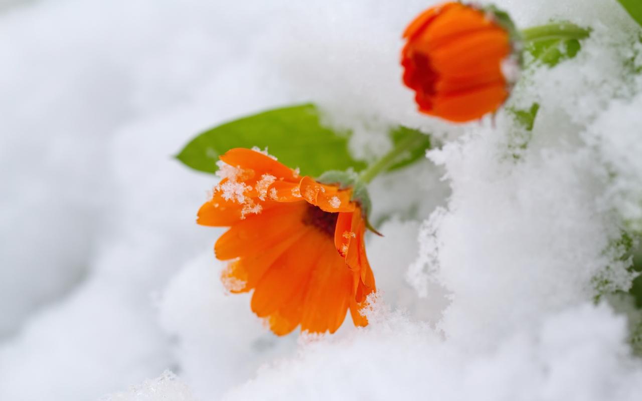 Download 1280x800 Wallpaper Orange Daisy Flowers Snow