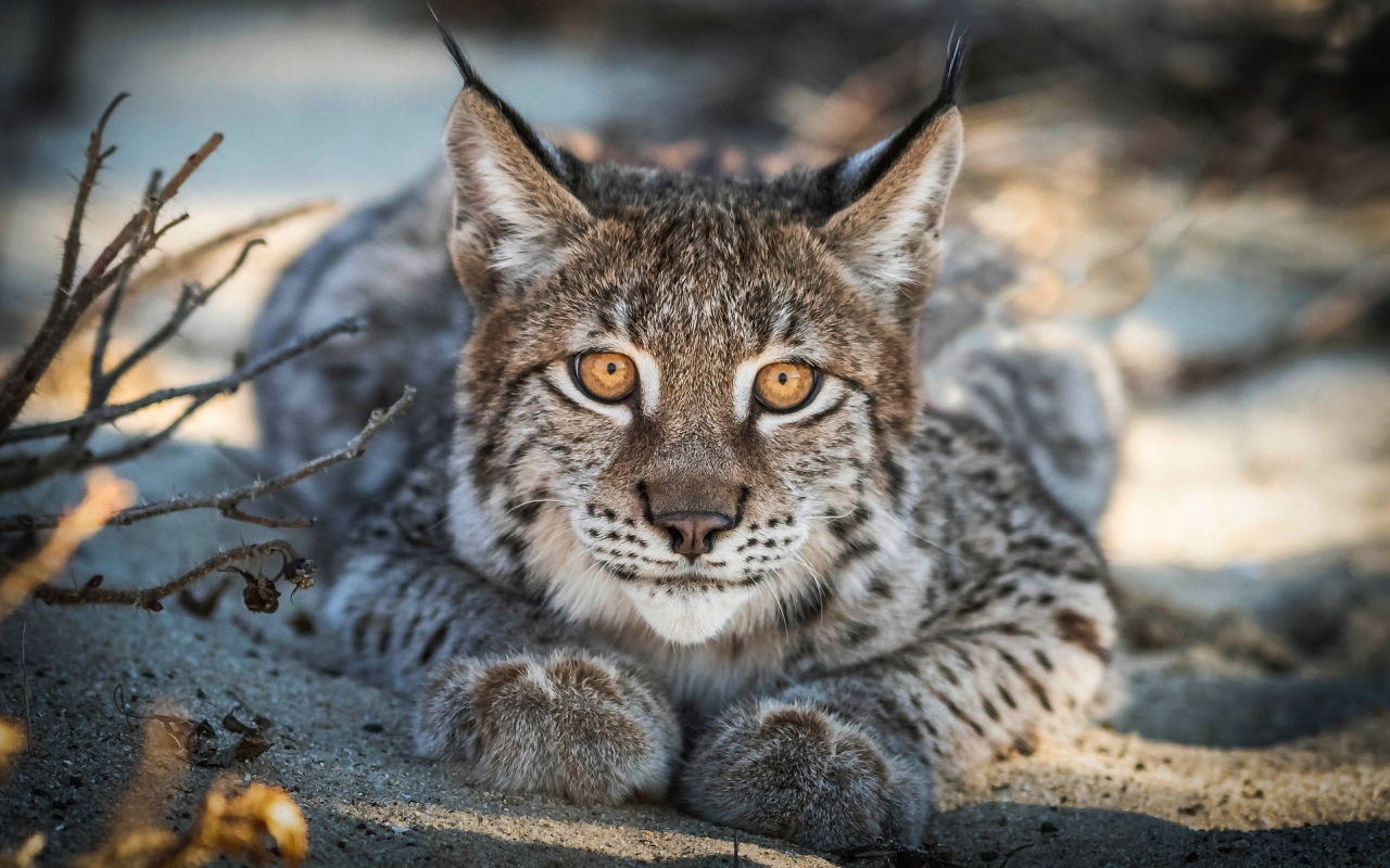 Close up, Lynx, cat, predator, muzzle, 1280x800 wallpaper