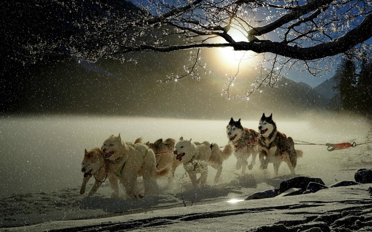 Dogs, run, winter, outdoor, 1280x800 wallpaper