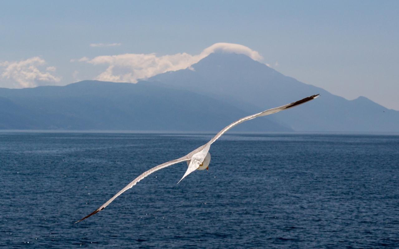 White bird, flight, sea, seagull, 1280x800 wallpaper