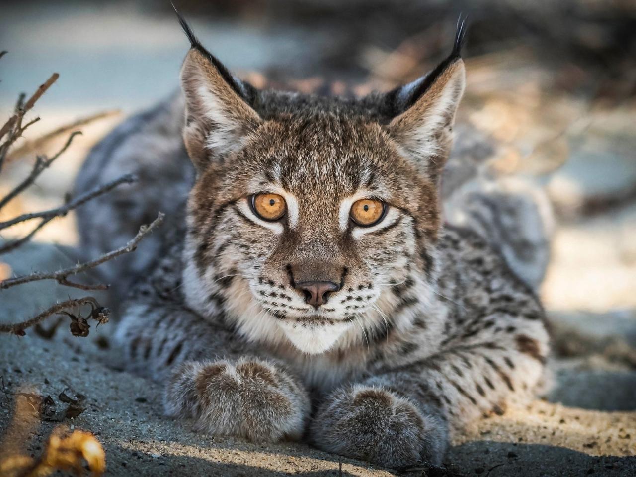 Close up, Lynx, cat, predator, muzzle, 1280x960 wallpaper