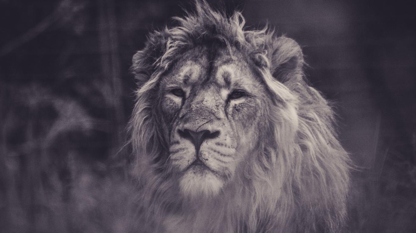 Lion, calm, predator, muzzle, 1366x768 wallpaper