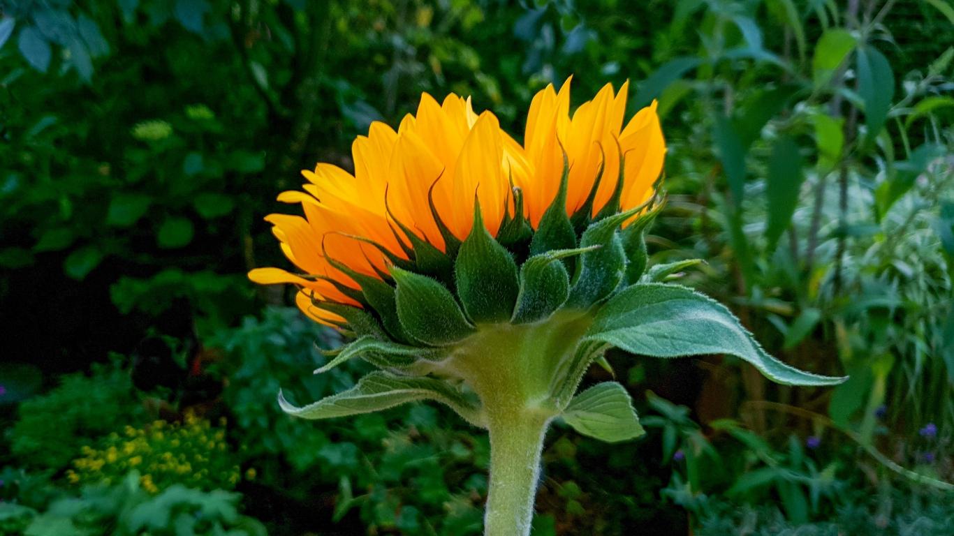 Download 1366x768 Wallpaper Sunflower Bud Bloom Tablet Laptop 1366x768 Hd Image Background 10864