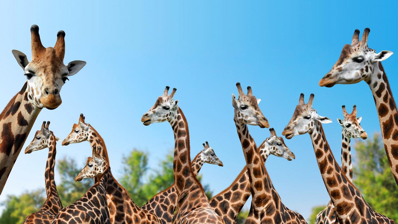 Giraffe Wild Animals Spots 1366x768 Wallpaper