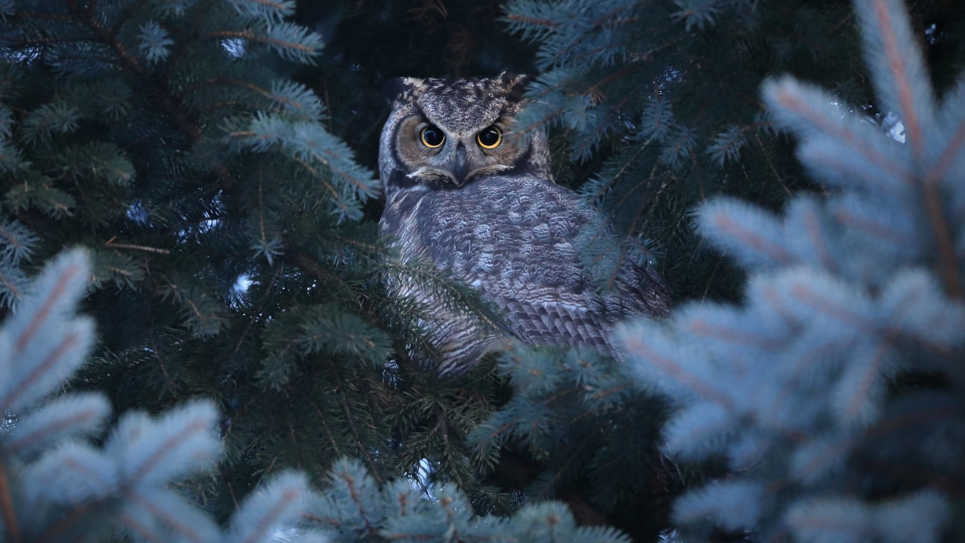 Download 1366x768 Wallpaper Owl Stare Bird Tablet Laptop 1366x768 Hd Image Background 23675