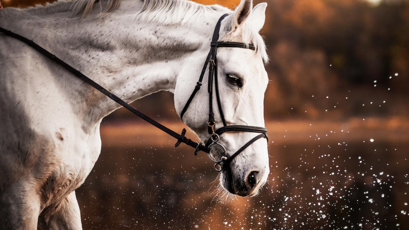 Download 1366x768 Wallpaper White Horse Animal Portrait Muzzle Tablet Laptop 1366x768 Hd Image Background 372