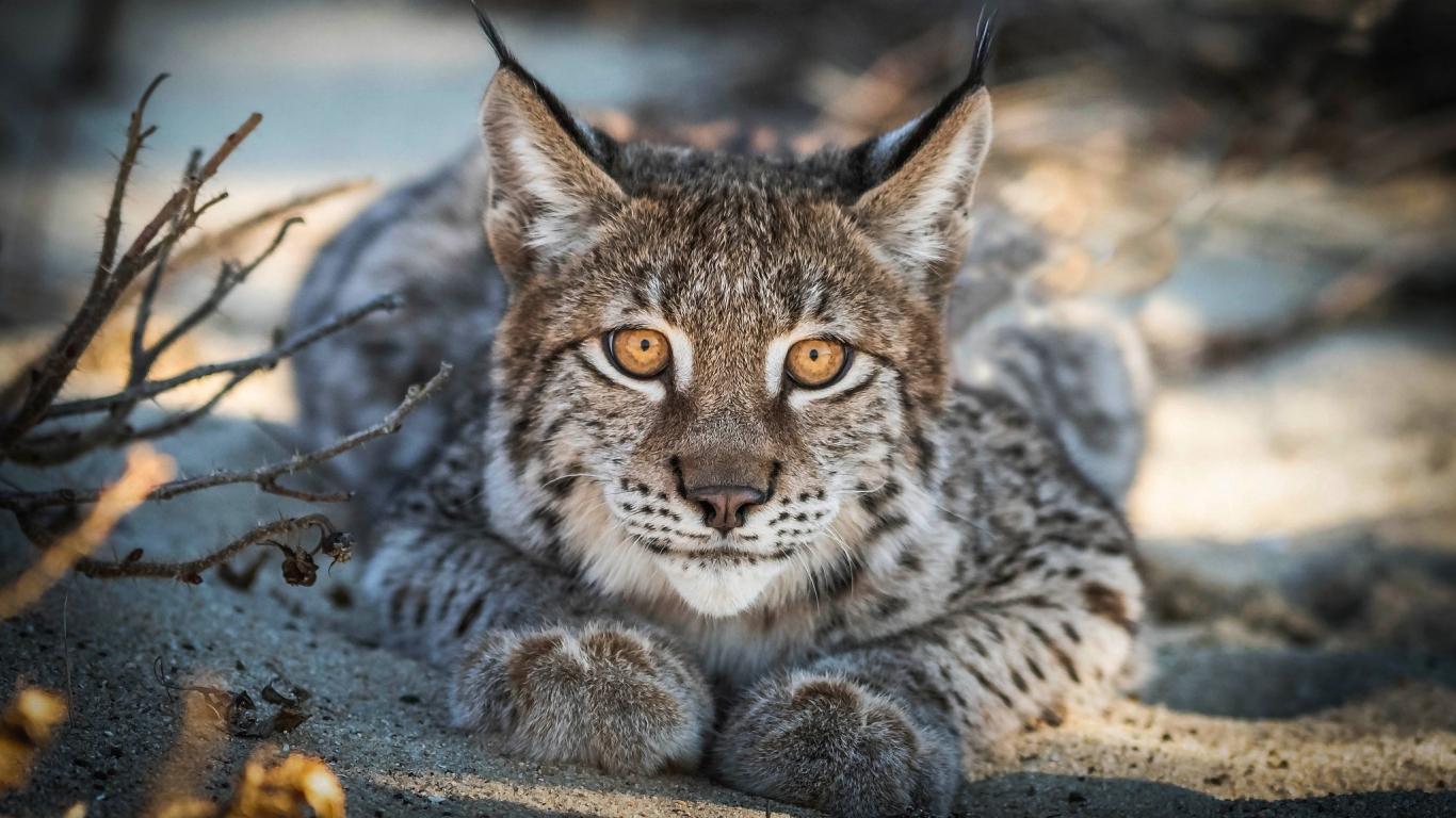 Close up, Lynx, cat, predator, muzzle, 1366x768 wallpaper