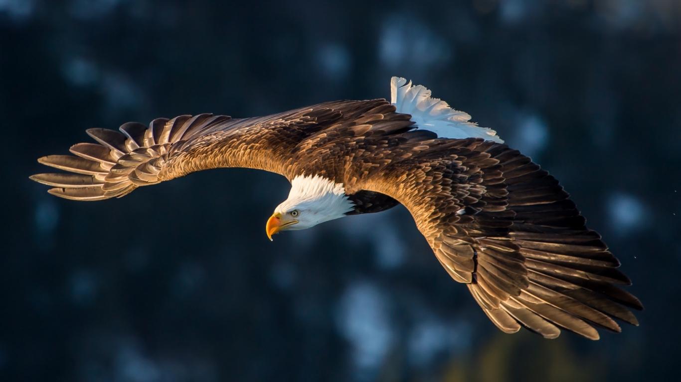 Download 1366x768 wallpaper flight, predator, bird, bald ...