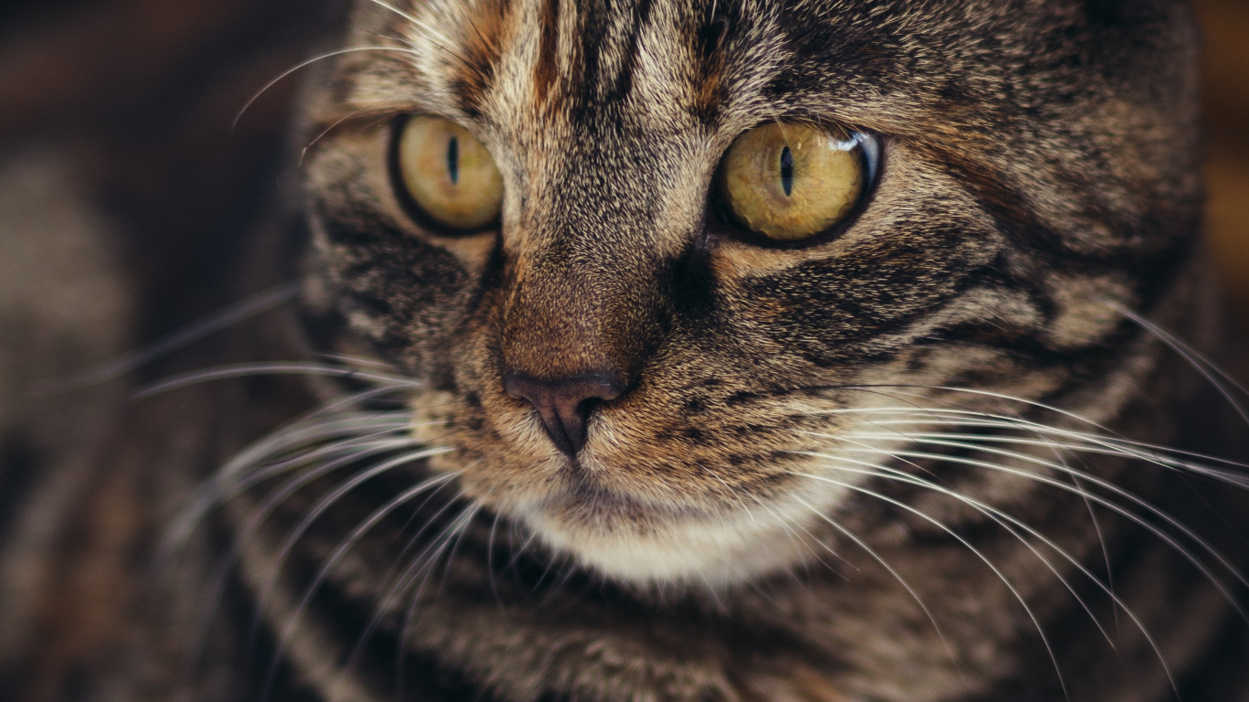 Download 1366x768 Wallpaper Curious Feline Yellow Eyes Cat