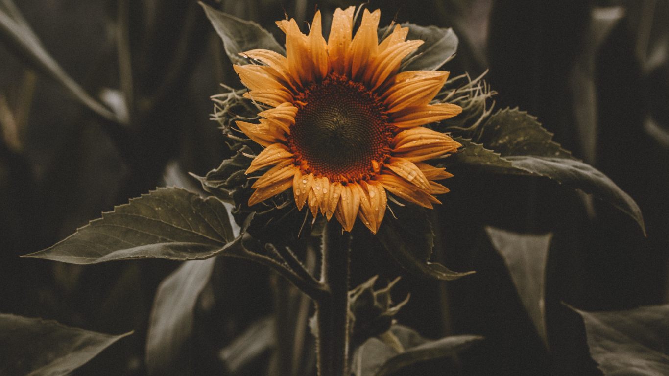 Download 1366x768 Wallpaper Beautiful Bloom Sunflower Yellow Tablet Laptop 1366x768 Hd Image Background 9086