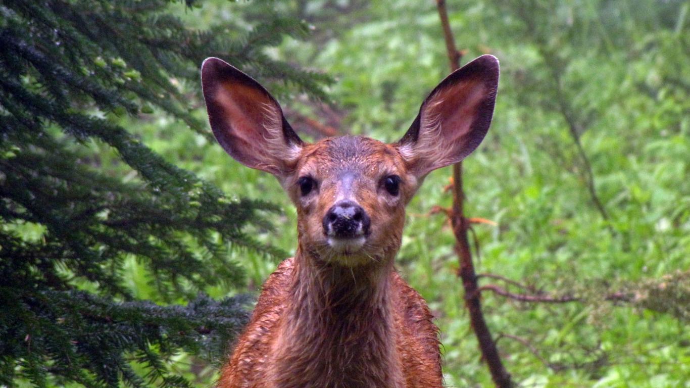 Roe Deer Muzzle Wild Animals Cute 1366x768 Wallpaper