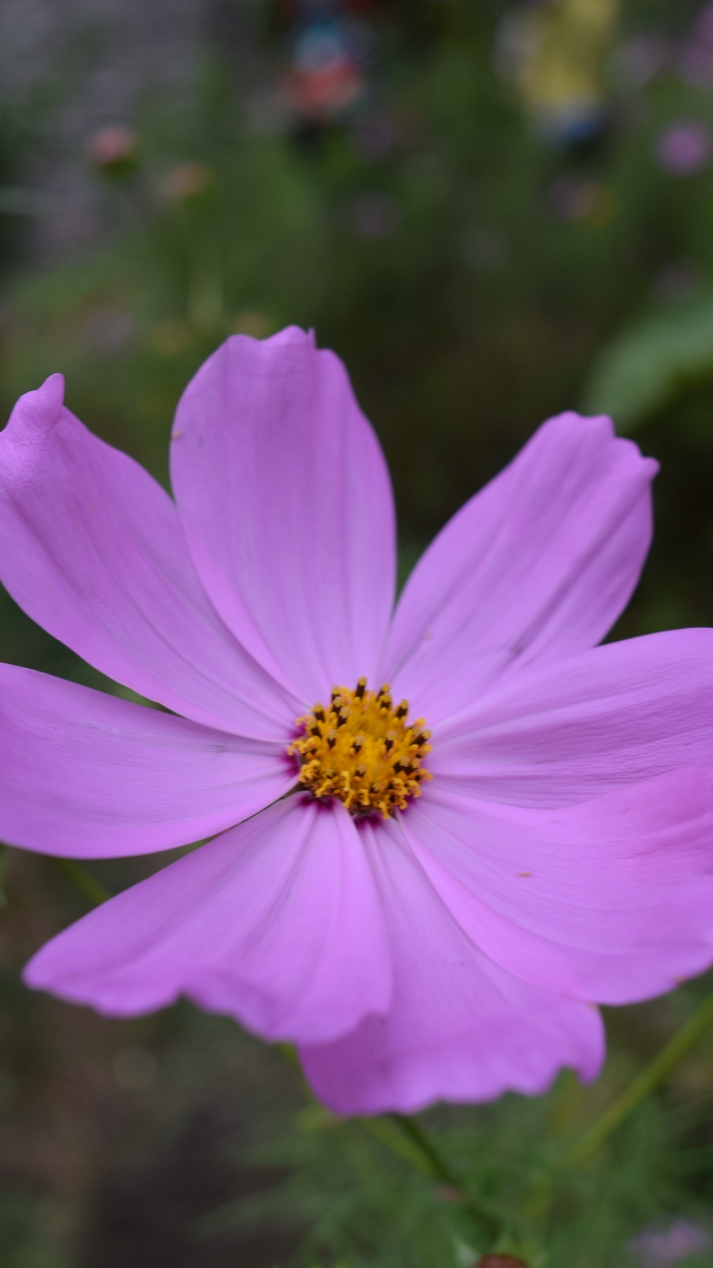 Download 1440x2560 Wallpaper Pink Cosmos Bright Flower Bloom Qhd Samsung Galaxy S6 S7 Edge Note Lg G4 1440x2560 Hd Image Background 6970