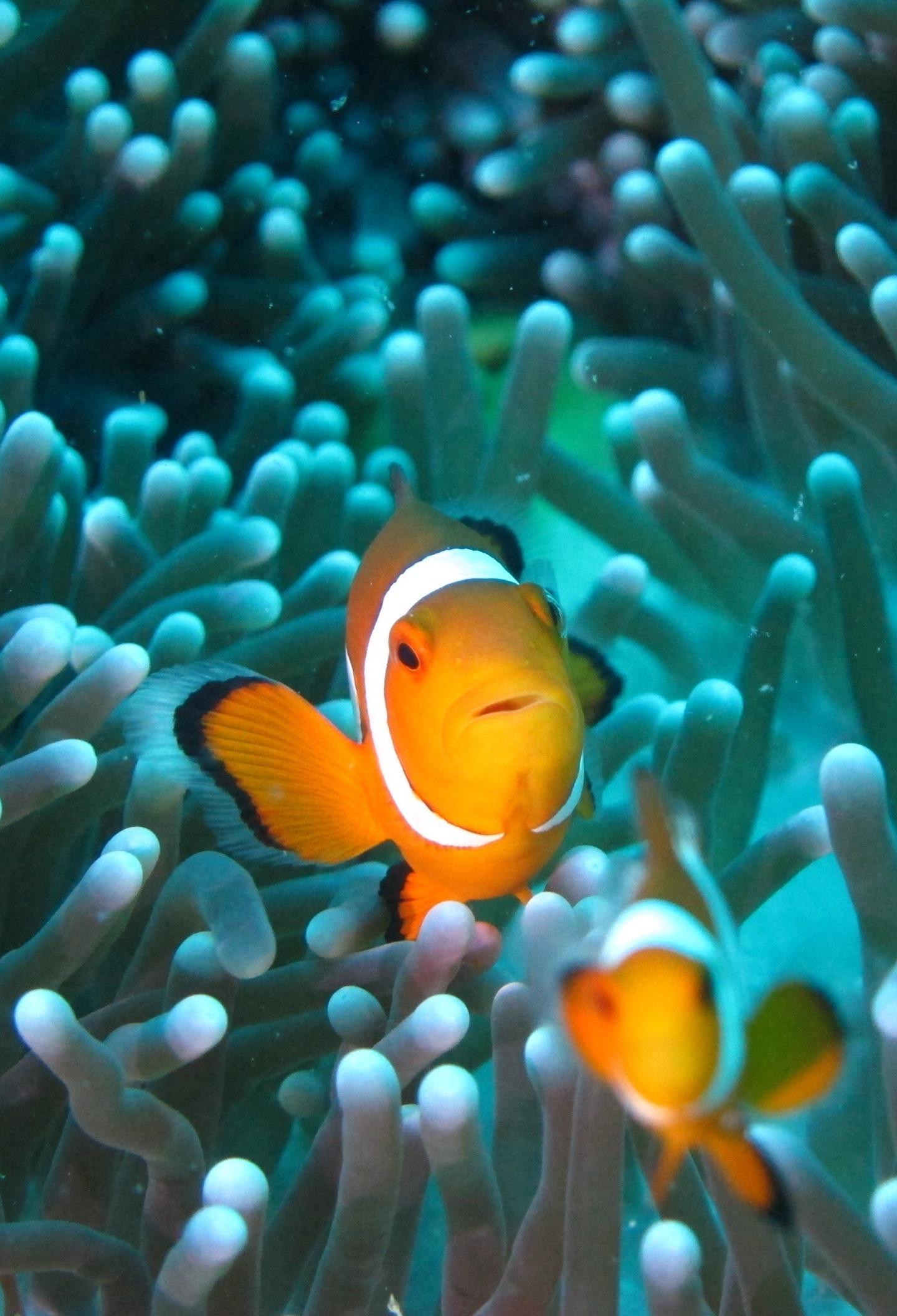 Download 1440x2560 Wallpaper Clownfish Fish Underwater