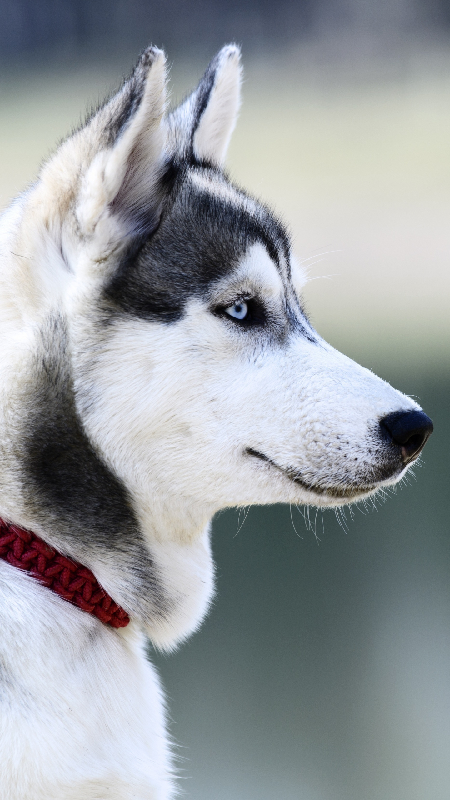 Download 1440x2560 Wallpaper Husky  Dog  Muzzle  White