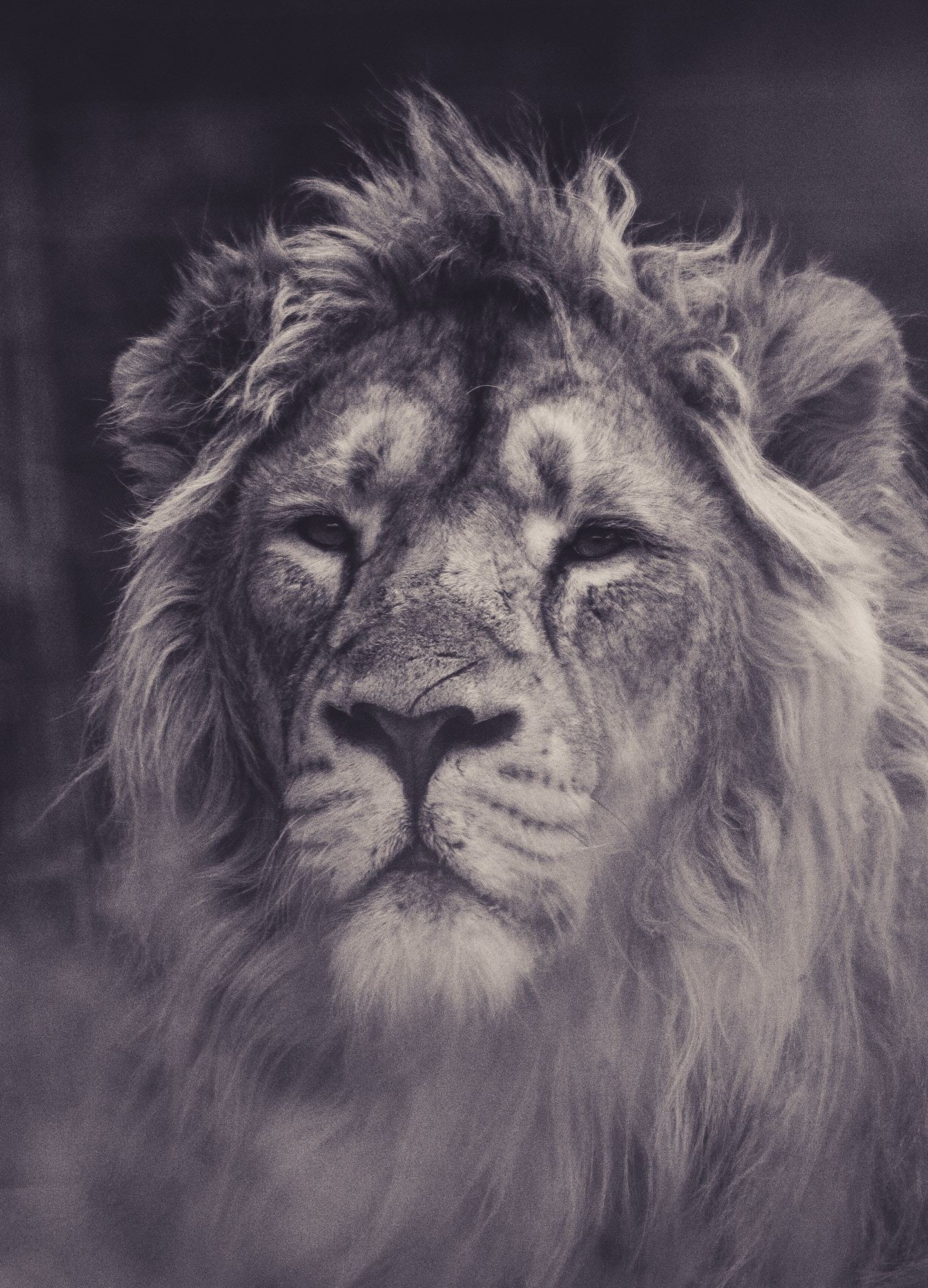 Lion, calm, predator, muzzle, 1440x2880 wallpaper