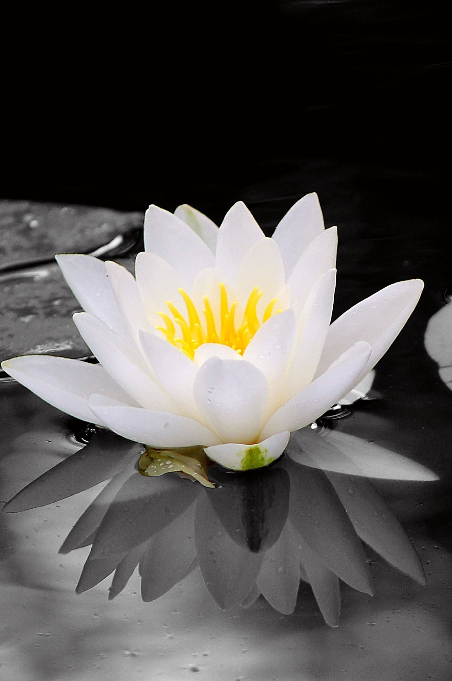 Download 1440x2880 Wallpaper White Water Lily Flowers Pond