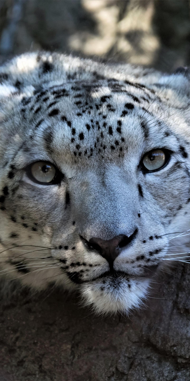 download 1440x2880 wallpaper snow leopard, muzzle, curious, wildlife