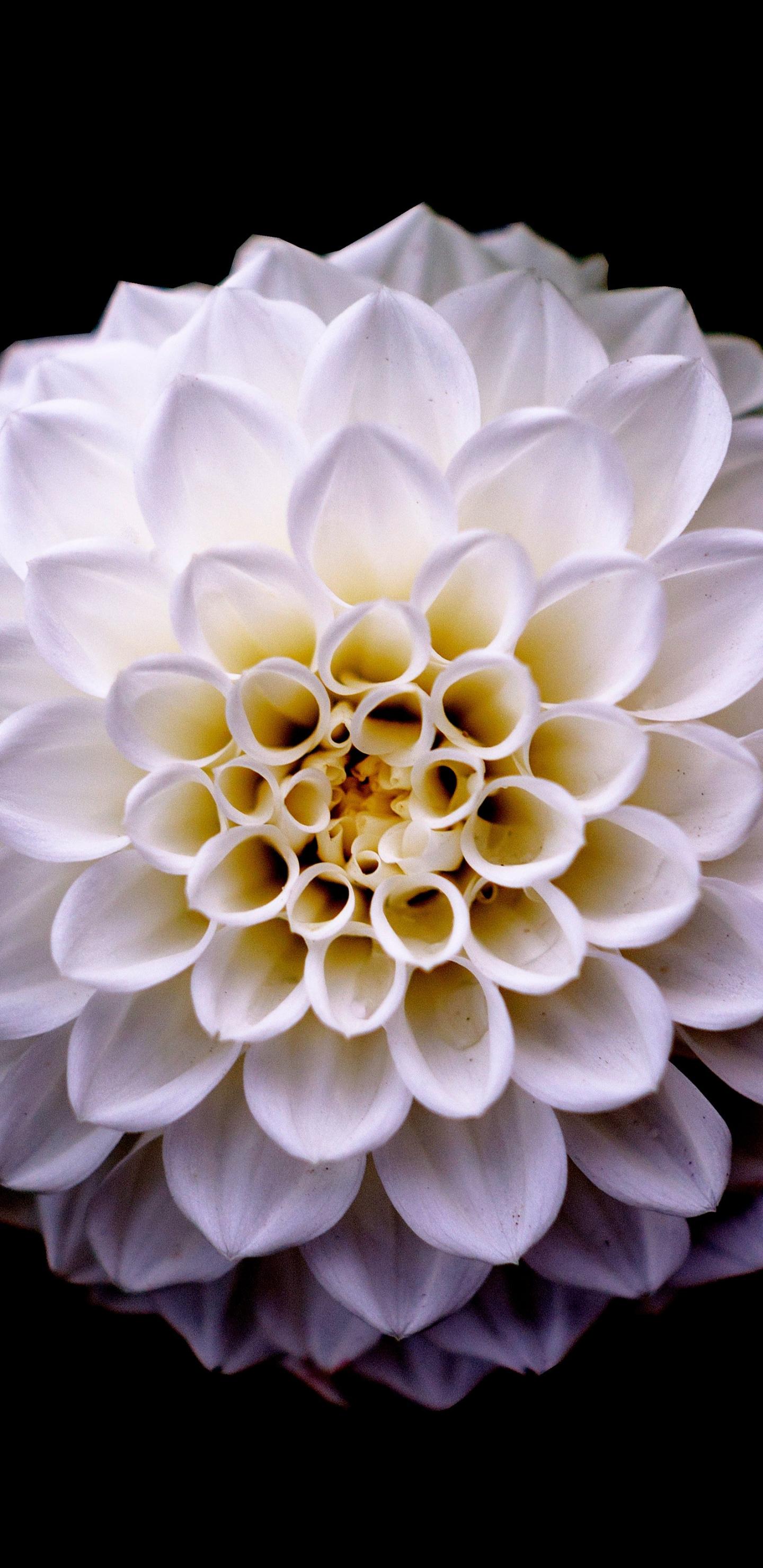 Dahlia, flower, portrait, 1440x2960 wallpaper