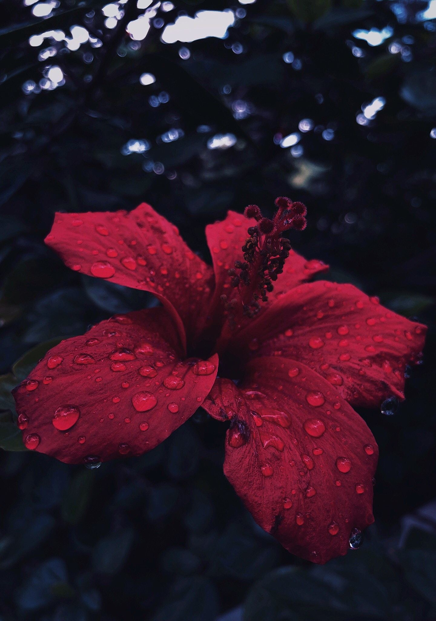 Hibiscus flower close up water drops