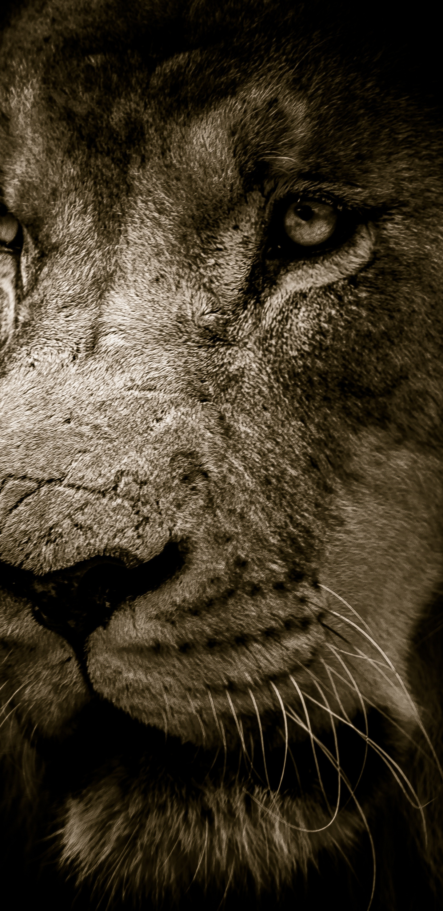 Download 1440x2960 Wallpaper Lion Fur Muzzle Predator Samsung