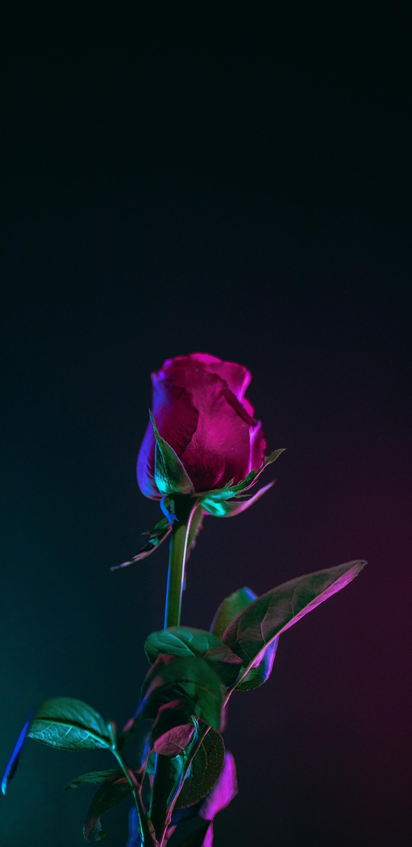 Download 1440x2960 Wallpaper Rose Bud Stem Portrait Samsung Galaxy S8 Samsung Galaxy S8 Plus 1440x2960 Hd Image Background 8825