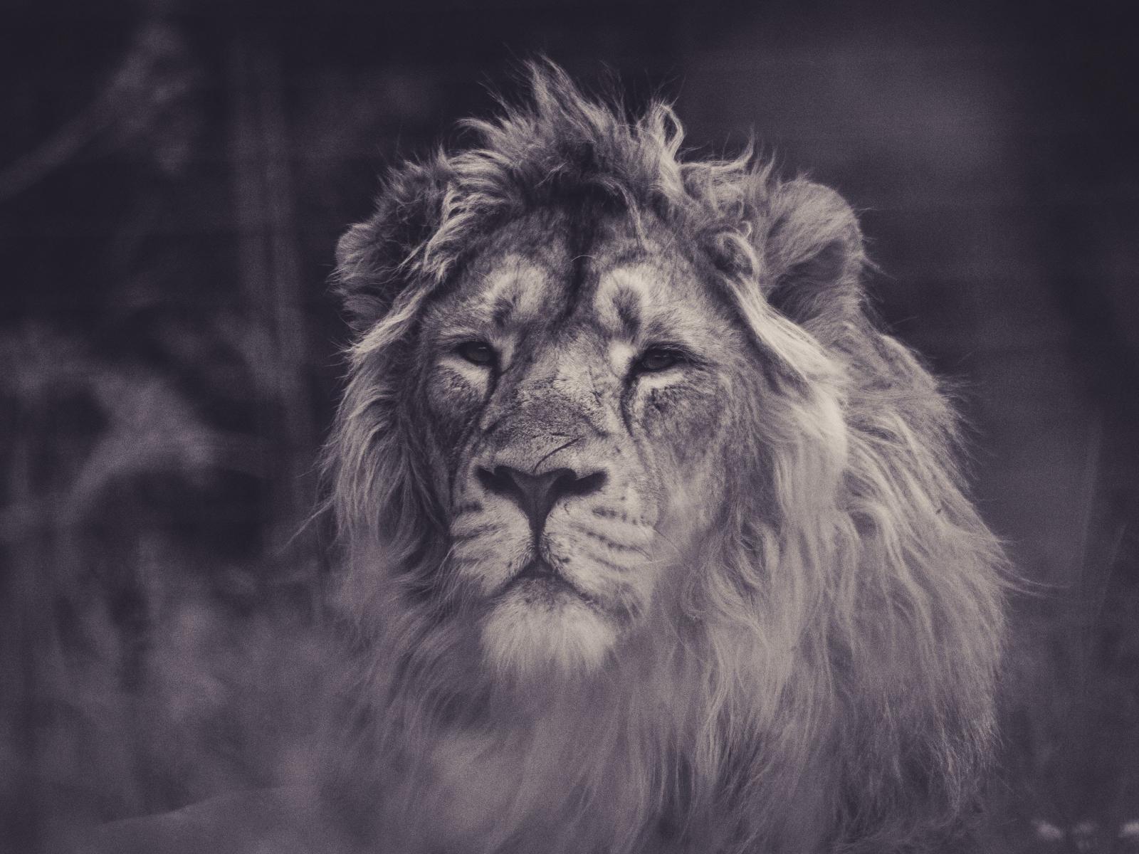 Lion, calm, predator, muzzle, 1600x1200 wallpaper