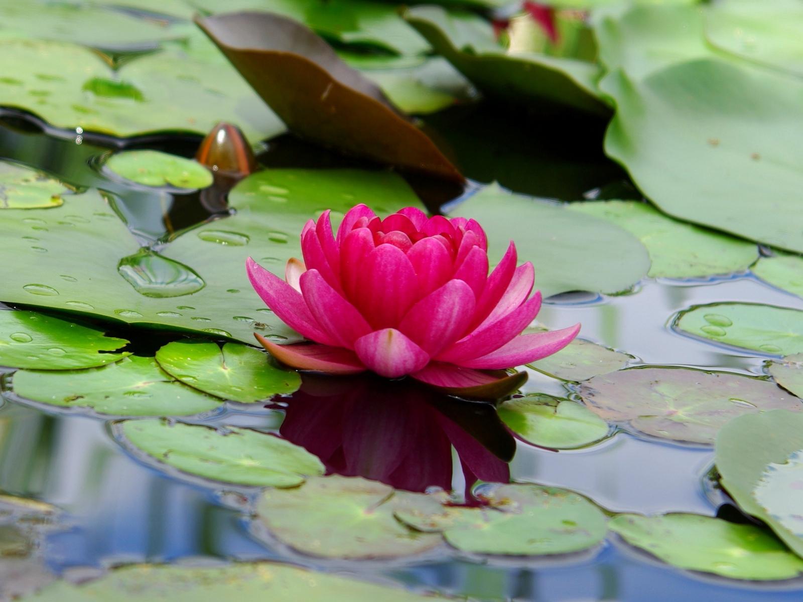 Download 1600x1200 Wallpaper Lotus Flower Pink Leaf Lake