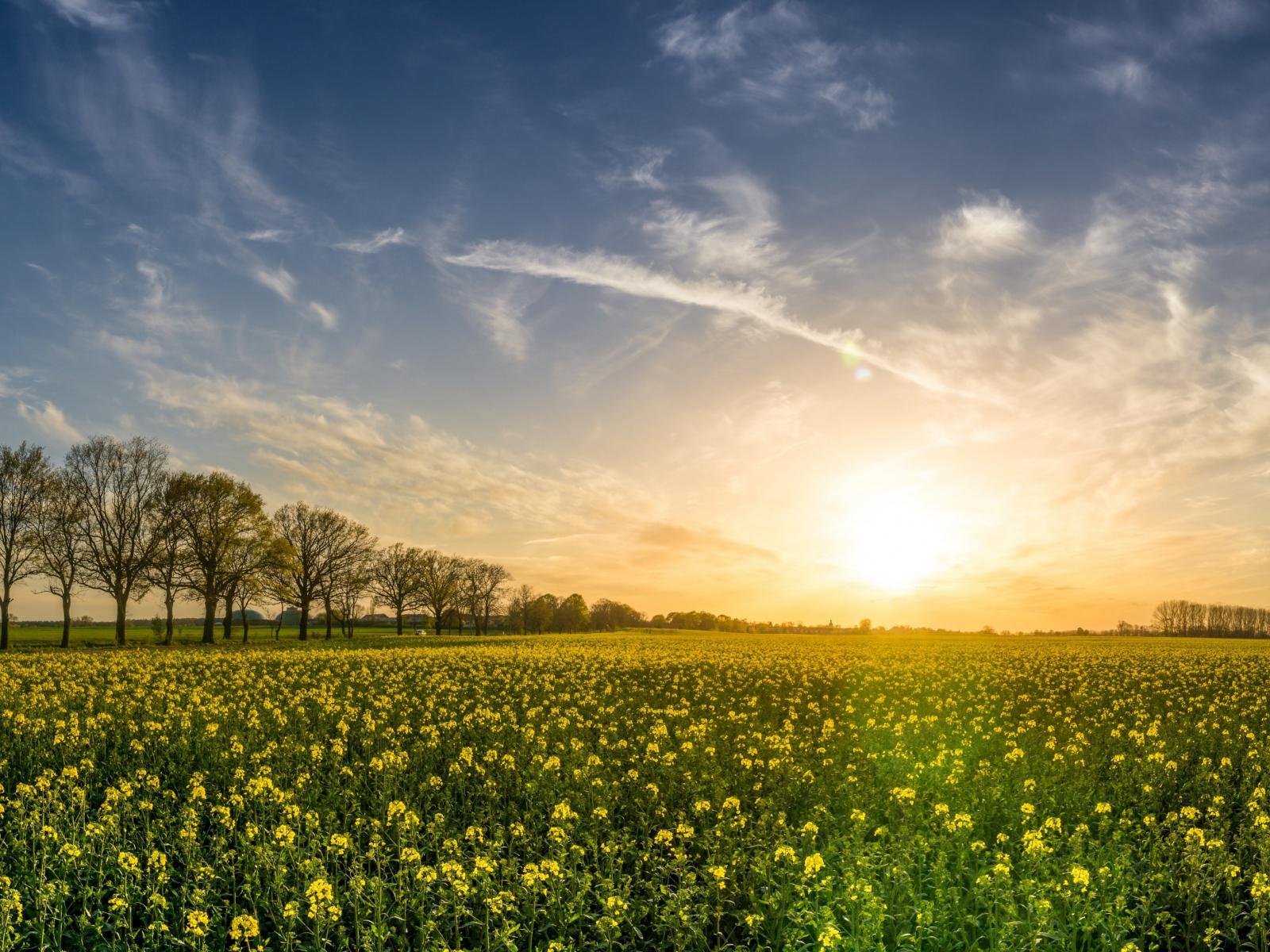 Oilseed rape, farm, sunny day, sky, 5k, 1600x1200 wallpaper