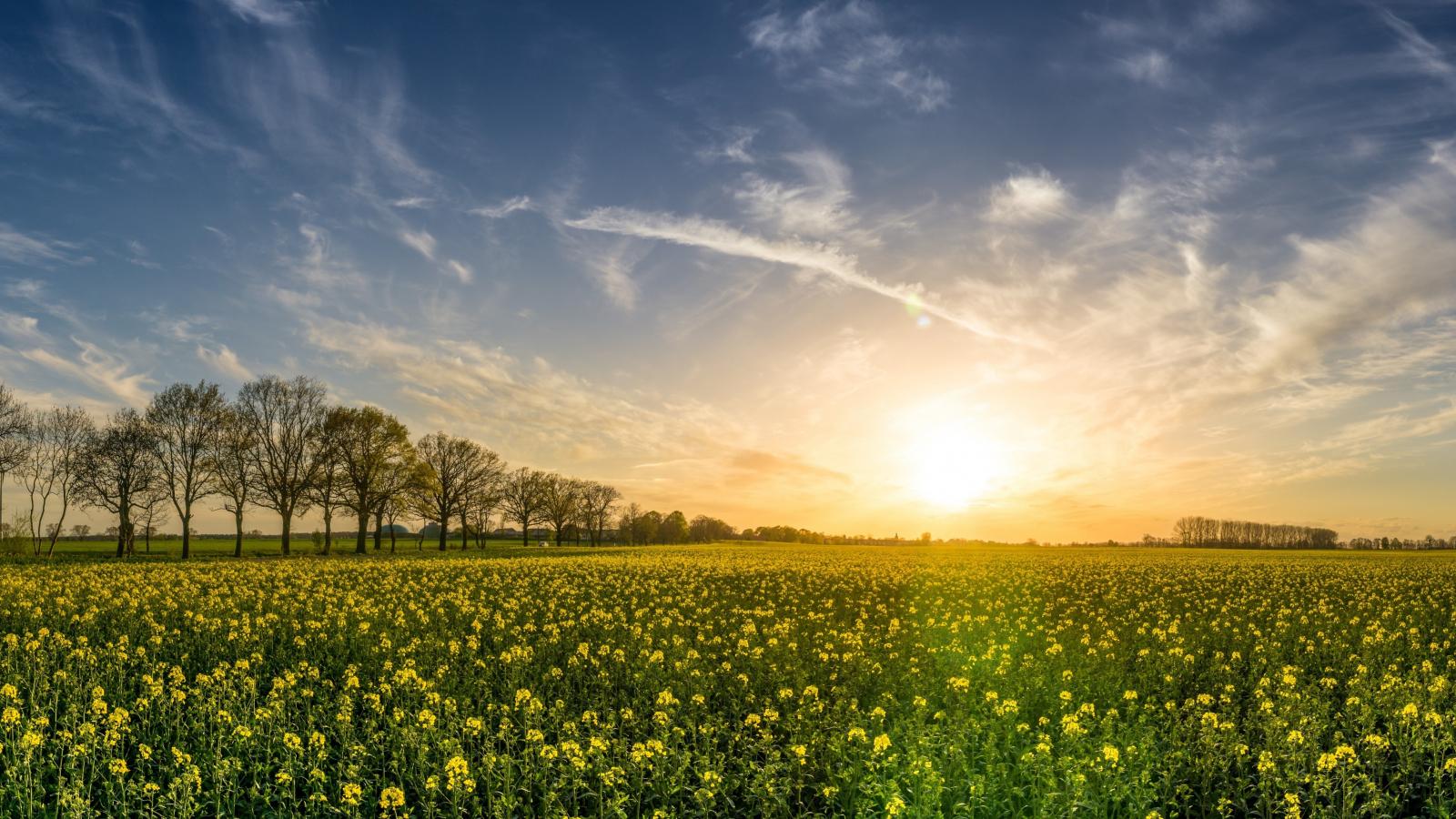 Oilseed rape fram sunny day 5k