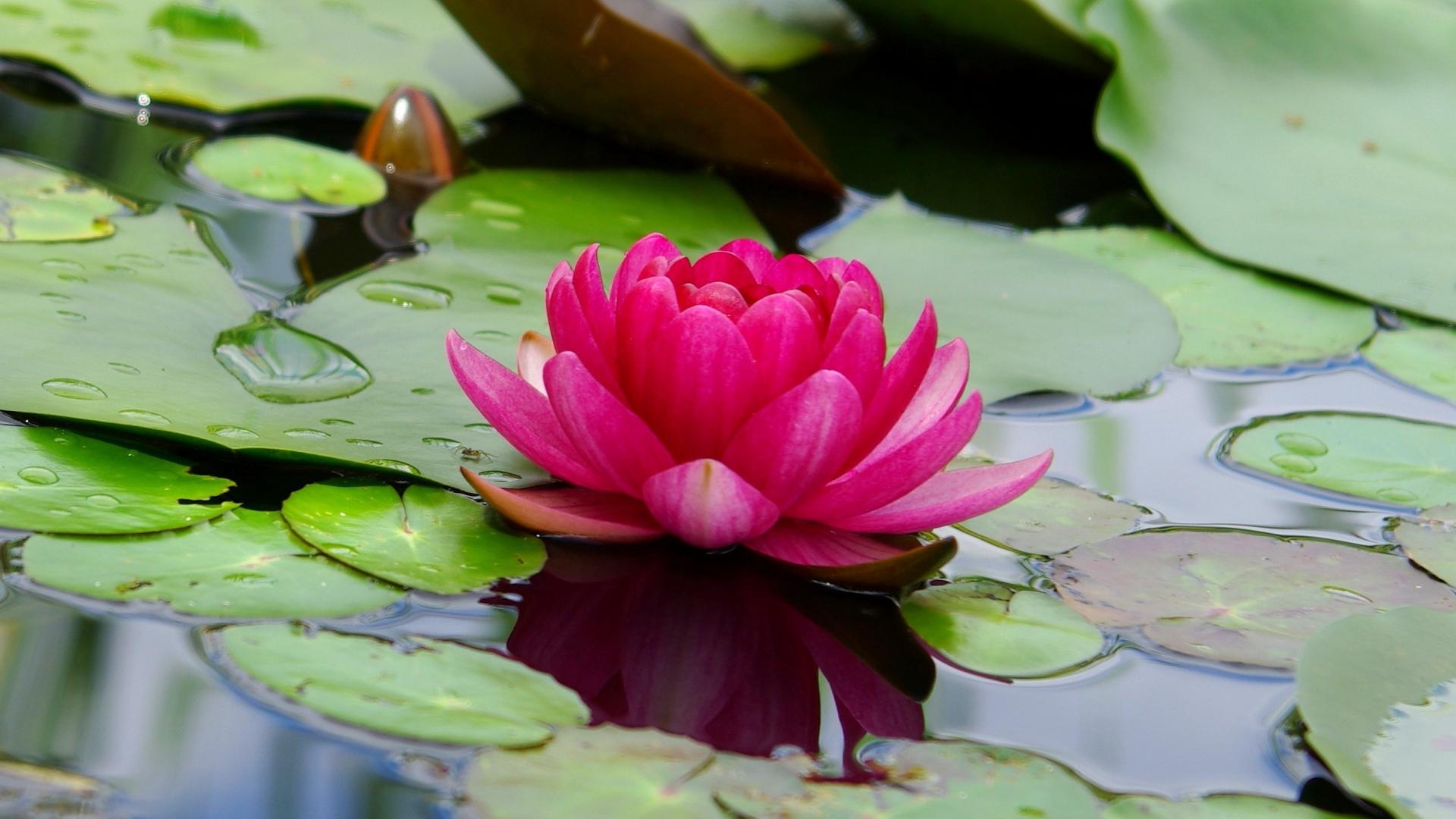 Download 1920x1080 Wallpaper Lotus Flower Pink Leaf Lake Full
