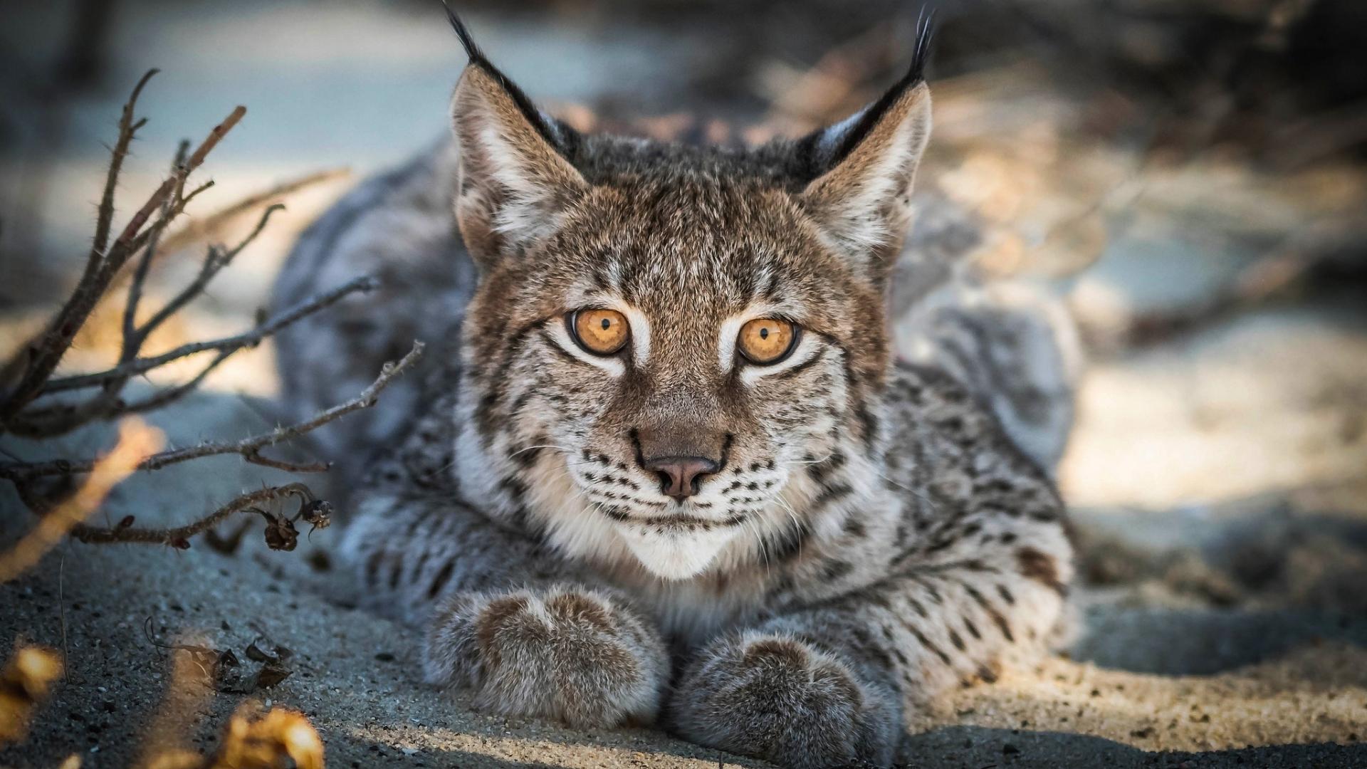 Close up, Lynx, cat, predator, muzzle, 1920x1080 wallpaper