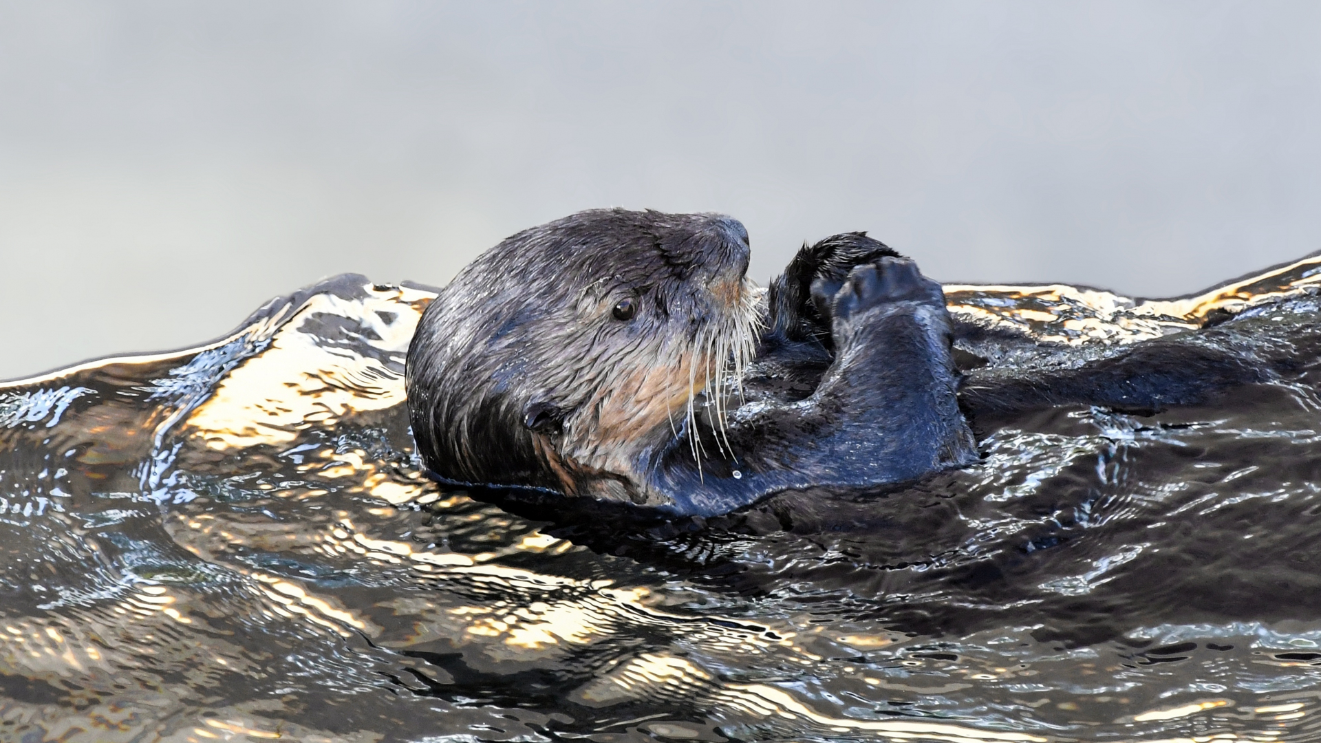 Download 1920x1080 Wallpaper Sea Otter Aquatic Animal Swim
