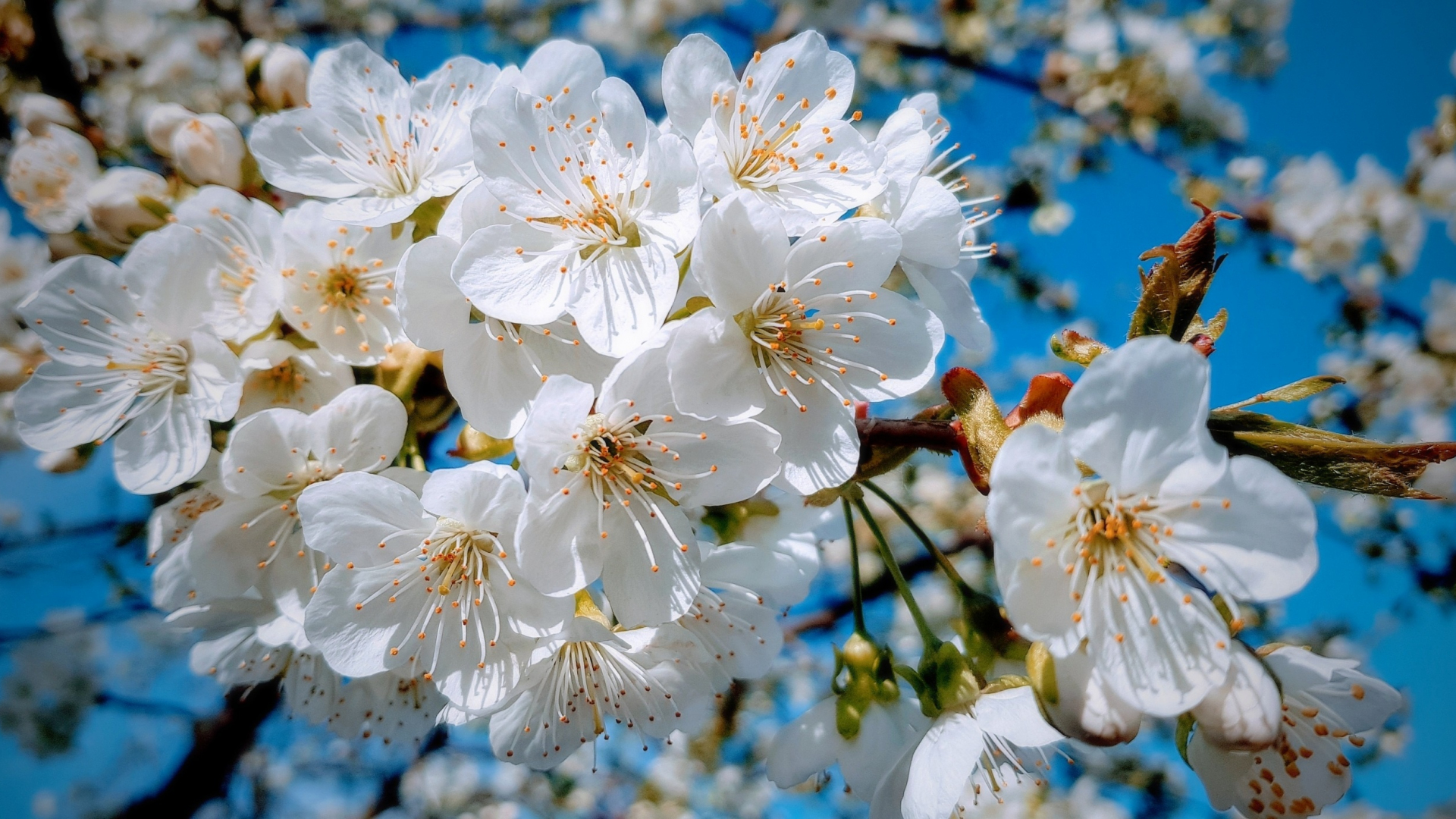 Download 1920x1080 wallpaper white, close up, cherry tree ...